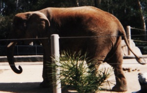 Photograph taken by the author, San Diego Zoo, March 1997.